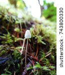 Small photo of Close up of small white psilocybe magic mushrooms growing in a mossy woodland.