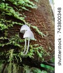 Small photo of Close up of small white psilocybe magic mushrooms growing on a mossy log.