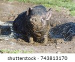 the black vietnamese pig takes... | Shutterstock . vector #743813170