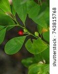 Small photo of Erythroxylum coca at garden