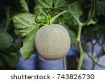 cantaloupe melons growing in a...   Shutterstock . vector #743826730