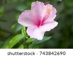 Pink Hibiscus Flower On Green...
