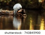 european badger with very nice... | Shutterstock . vector #743845900