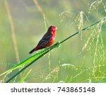beautiful red bird  red...   Shutterstock . vector #743865148