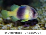 Small photo of Colorful of ornamental marine fish.The two-Banded Sea Perch, Yellow emperor, Diploprion bifasciatum ,Serranidae family, is one of the popular fish to show in marine aquarium tank.