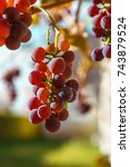 bunch of ripe grapes on the... | Shutterstock . vector #743879524