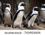 african penguin  spheniscus... | Shutterstock . vector #743903404