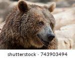 eurasian brown bear  ursus... | Shutterstock . vector #743903494