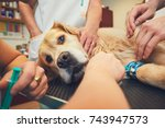 Stock photo golden retriever in the animal hospital veterinarians preparing the dog for surgery 743947573