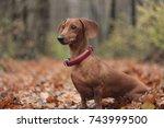 red dachshund in the autumn... | Shutterstock . vector #743999500
