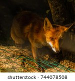 the intense glance of a fox... | Shutterstock . vector #744078508