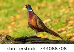 Pheasant  Male  Ring Necked Or...
