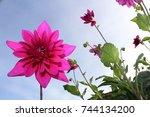 Single Fuchsia Flower Lightene...