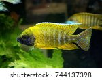 The Yellow Peacock Cichlid...