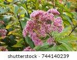 eutrochium purpureum or  kidney ... | Shutterstock . vector #744140239