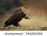 Walk Cinereous Vulture ...