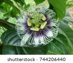 Passiflora Edulis  Flower...