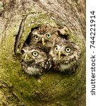 Three Little Owls Peeping Out...