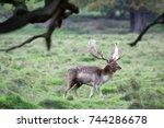Fallow Deer Stag At Petworth...