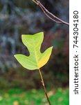 Small photo of Tulip Tree Leaf