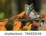 Stock photo owl on a branch eastern screech owl owl in the woods 744323143