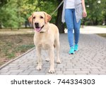 Stock photo woman walking labrador retriever on lead in park 744334303