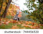 whippet dog lying on the grass. ... | Shutterstock . vector #744456520