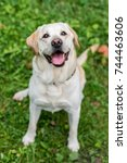 happy labrador retriever dog... | Shutterstock . vector #744463606