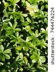 Small photo of Alchemilla alpina many green plant background