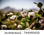 raw organic cotton growing at... | Shutterstock . vector #744490420