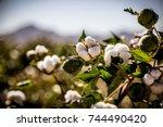 Raw Organic Cotton Growing At...