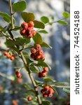Cotoneaster Integerrimus Red...