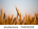 Yellow Ears Of Wheat At Sunset...