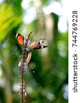 Small photo of Beautiful swarm of leopard lacewing butterflies