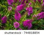 Profusion Of Purple Hebe...
