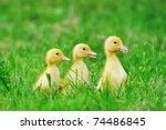 small ducklings outdoor on...   Shutterstock . vector #74486845