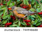 A Robin Perched On A...
