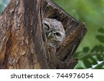 spotted owlet athene brama