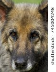 Small photo of Close-up portrait of an old German Shepherd or Alsatian dog. Shallow depth of field.