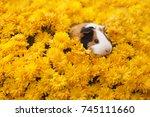 funny little guinea pig sitting ... | Shutterstock . vector #745111660