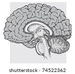 human brain sagittal view... | Shutterstock .eps vector #74522362