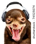 Stock photo ridiculous dog dj russian toy terrier 74525074