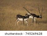 Blackbuck  Indian Antelope