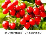 Red Cherries On The Tree