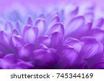 Chrysanthemum Petals