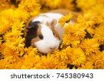 funny little guinea pig sitting ... | Shutterstock . vector #745380943
