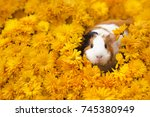 funny little guinea pig sitting ... | Shutterstock . vector #745380949