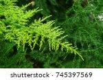 Green Leaf Of Feather Fern...