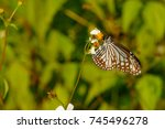 Small photo of Brown and white butterfly in the afternoon sun, Parantica sita