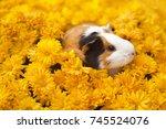 funny little guinea pig sitting ... | Shutterstock . vector #745524076